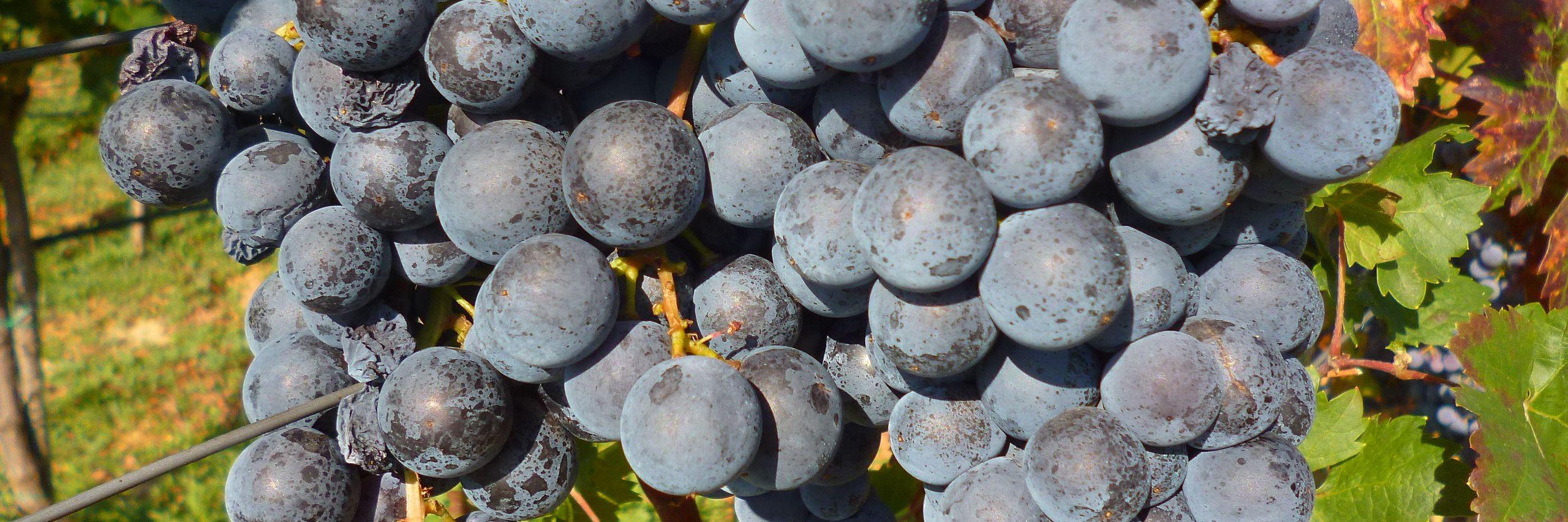 Вино и ракия. Фото: Елена Арсениевич, CC BY-SA 3.0