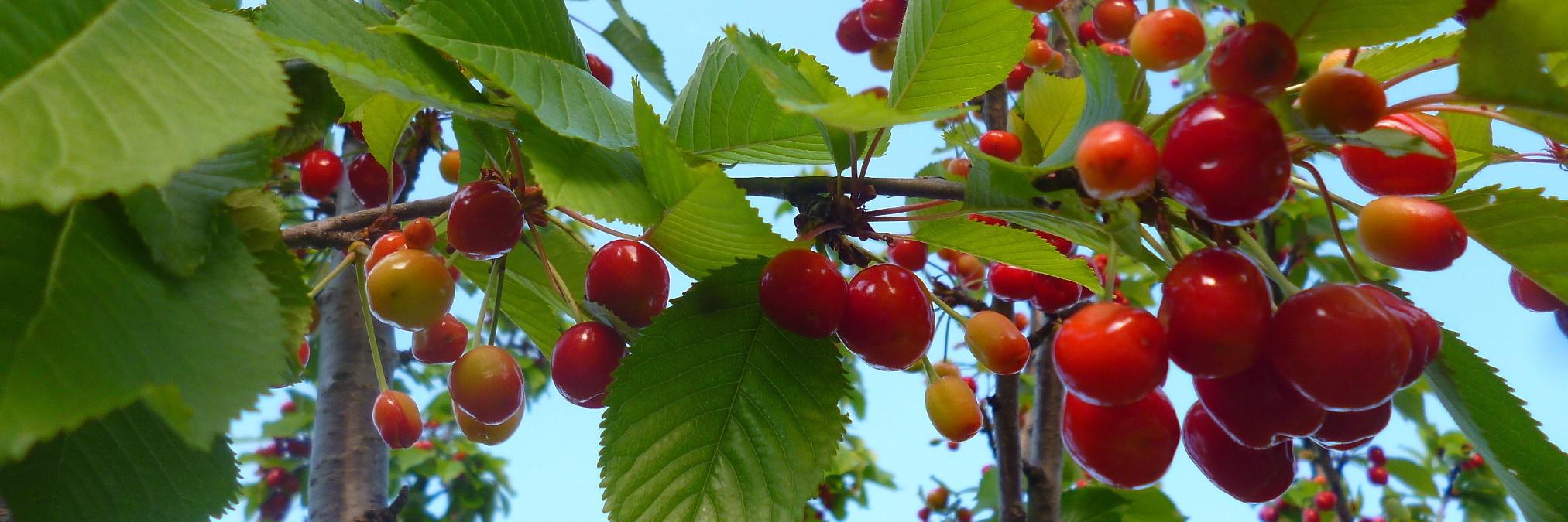Фрукты и ягоды в Боснии и Герцеговине